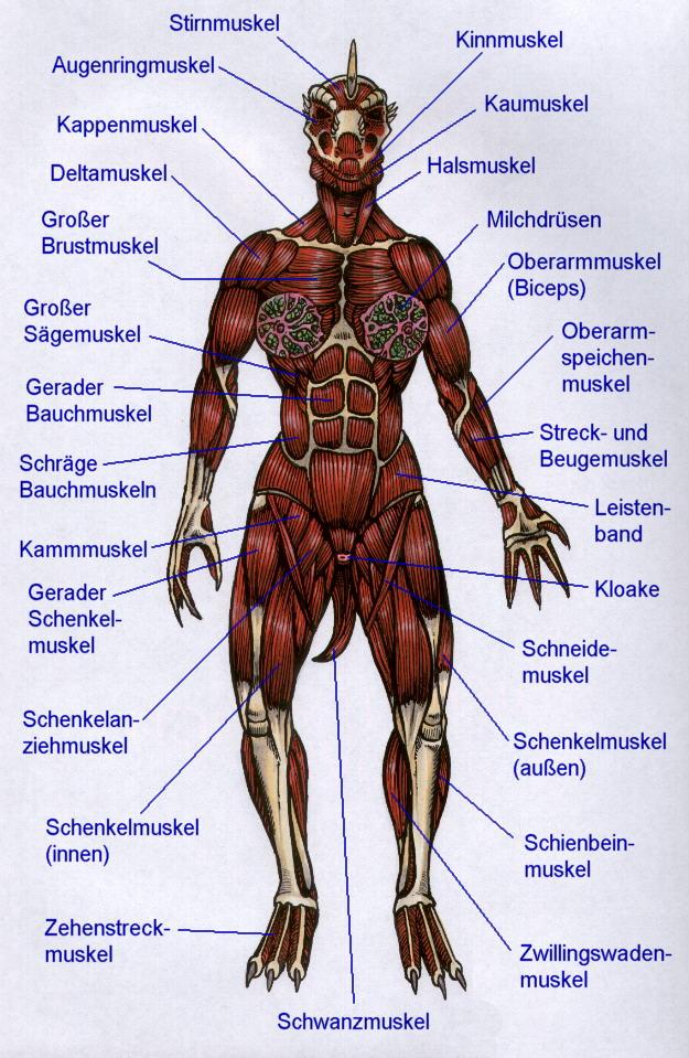 Reptile Universum - Echsenwesen Anatomie - MUSKELN